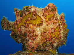 Frogfish on the Salem Express. Canon G9 with Ikelite DS51... by James Dawson