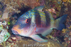 Goatfish, D300-60mm by Larry Polster