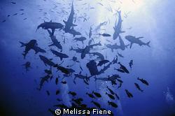 Reefsharks feeding. Taken using a Nikon D300 with dual ys... by Melissa Fiene