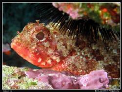 Scorpionfish (Scorpaena notata). Canon G10 & Inon D2000. by Bea & Stef Primatesta