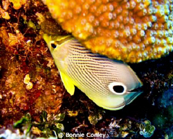 Four-eye Butterflyfish seen May 2009 in Grand Bahamas.   ... by Bonnie Conley