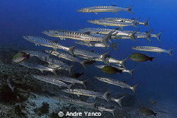 Barracudaaaaaaaa :)   Captured at Barracuda Point in Sipa... by Andre Yanco