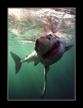 You wait for the shark to get close enough, hope he will ... by Johannes Felten