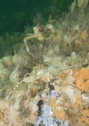 Leachs spider crab's. Menai straits. D3, 60mm. by Derek Haslam