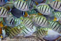 School of Convict Tangs. by Stuart Ganz