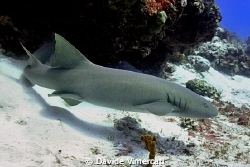 Nurse shark @ Cozumel, Mexico. Taken with Nikon D90 + Nim... by Davide Vimercati
