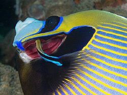 Emperor angelfish and cleaner wrasse by Doug Anderson