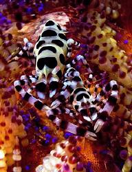 Coleman Shrimp. Seraya, Bali. by Doug Anderson