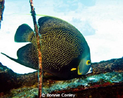 French Angelfish seen in Grand Bahamas May 2009.  Photo t... by Bonnie Conley