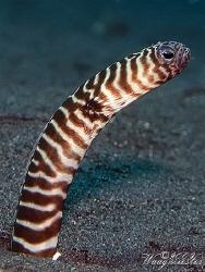 Tiger striped garden eel (Heteroconger polyzona) - Tulamb... by Marco Waagmeester