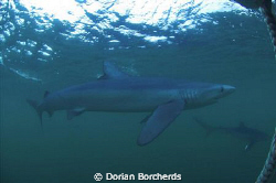 Blue Sharks 25 Miles off Cape Point.Used Nikon D70s and 1... by Dorian Borcherds