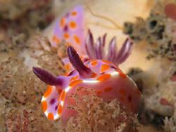 Ceratosoma amoena, Shark Point by Doug Anderson