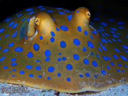 Bluespotted ribbontail ray (Taeniura lymma) - Moyo island... by Marco Waagmeester