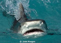 Tiger shark behind the boat. by Jane Morgan