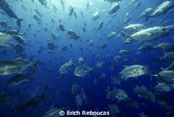 Swimming into the school of Giant Trevally! Shark Reef, R... by Erich Reboucas