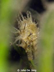 Hippocampos ramulosus in close up between the vegetation. by John De Jong