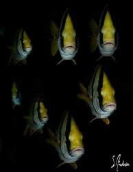 Porkfish at Paso De Cedral - Cozumel  - These fish are ve... by Steven Anderson