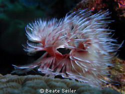 Christmas tree worm in motion , taken at Wakatobi with Ca... by Beate Seiler