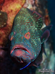 Grouper at cleaning station - Tulamben, Bali (Canon G9, I... by Marco Waagmeester