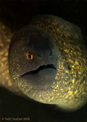 """Golden Eye""  Yellow Margin Moray Eel. D200, 60mm No crop... by Debi Henshaw"