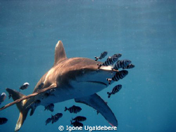 oceanic white tip with pilot fish by Igone Ugaldebere