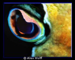 Eye of Poseidon - porcupine fish after dark by Alex Wolff