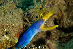 Blue Ribbon Eel. Ambon Bay, Indonesia. D300-60mm by Larry Polster