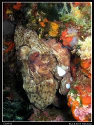 Octopus. Canon G10 & Inon D2000 strobe by Bea & Stef Primatesta