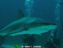 close look to a reef shark during a  shark feeding at stu... by Victor J. Lasanta