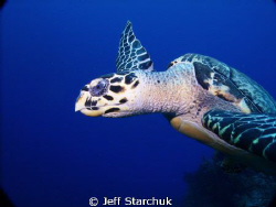Cozumel turtle by Jeff Starchuk
