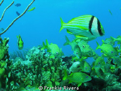 Everybody, looking at me!!!  Stripped Grunts & 2 Porkfish... by Frankie Rivera