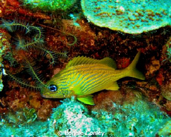 French Grunt seen in Grand Bahamas May 2009.  Photo taken... by Bonnie Conley
