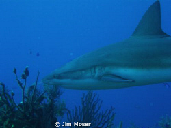 Caribbean Reef Shark off the coast of Belize at Silver Ca... by Jim Moser