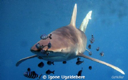 oceanic white tip by Igone Ugaldebere
