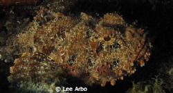 beautiful scorpionfish by Lee Arbo