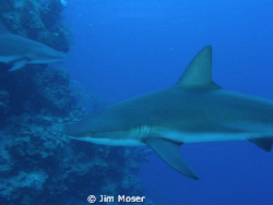 Caribbean Reef Sharks, off the coast of Belize at Silver ... by Jim Moser