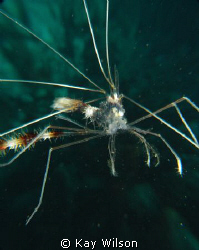 Not really swimming - Banded coral shrimp 'husk' by Kay Wilson