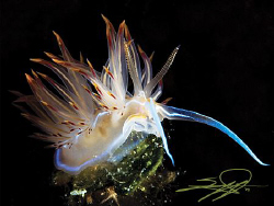 Nudibranch Dondice Banyulensis. by Nicholas Samaras