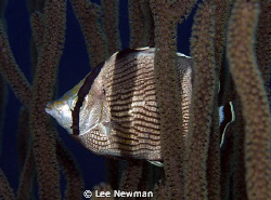 """Dressed Appropriately"" Banded Butterflyfish, Calabas Ree... by Lee Newman"
