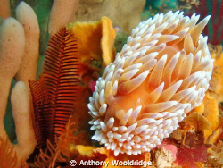 Silver Nudibranch taken at crossroads reef in Port Elizab... by Anthony Wooldridge