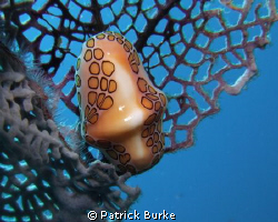 Flamingo Tongue taken in La Ramona area of Dominican Repu... by Patrick Burke