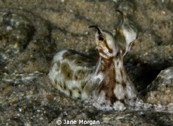 Mimic octopus taken in Nuweiba. by Jane Morgan