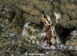 Mimic octopus taken in Nuweiba. by Jane Morgan