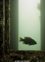 """""""Captain's Quarters""""      A rock bass makes an old wreck ... by Jean-Louis Courteau"""