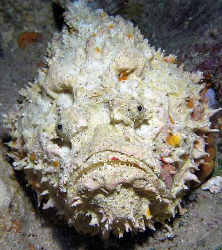 Stonefish by Martin Dalsaso