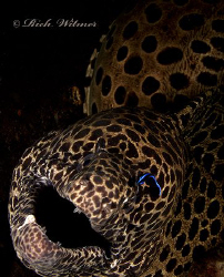 Fancy Eyebrow :)   Large moray being attended by a cleane... by Richard Witmer