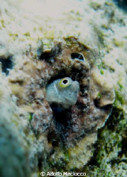 Bluebelly Blenny