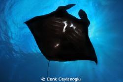 Black Manta  Manta point / Nusa Penida Island/Bali. by Cenk Ceylanoglu