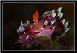 Much desired flabellina taken in Alor indonesia   Fuji S5... by Yves Antoniazzo