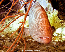 Grouper seen at Grand Bahamas May 2009.  Photo taken with... by Bonnie Conley